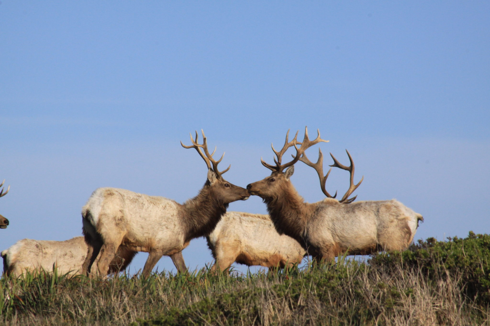 Tule Elk at Pt. Tomales in Pt. Reyes National Seashore