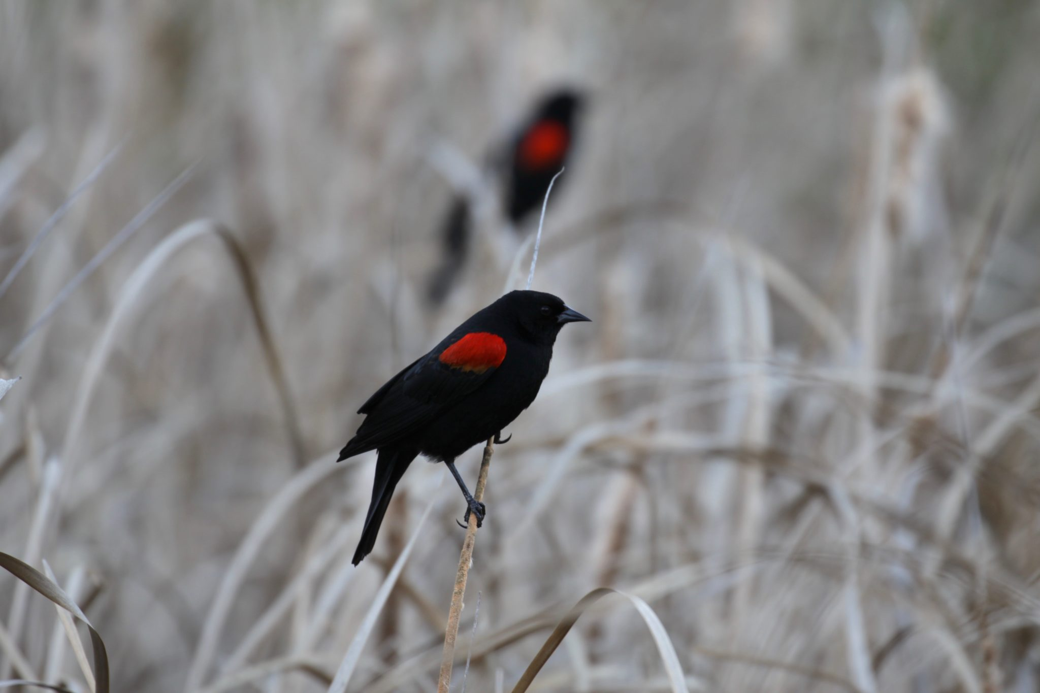 Red Winged Blackbird Northern California