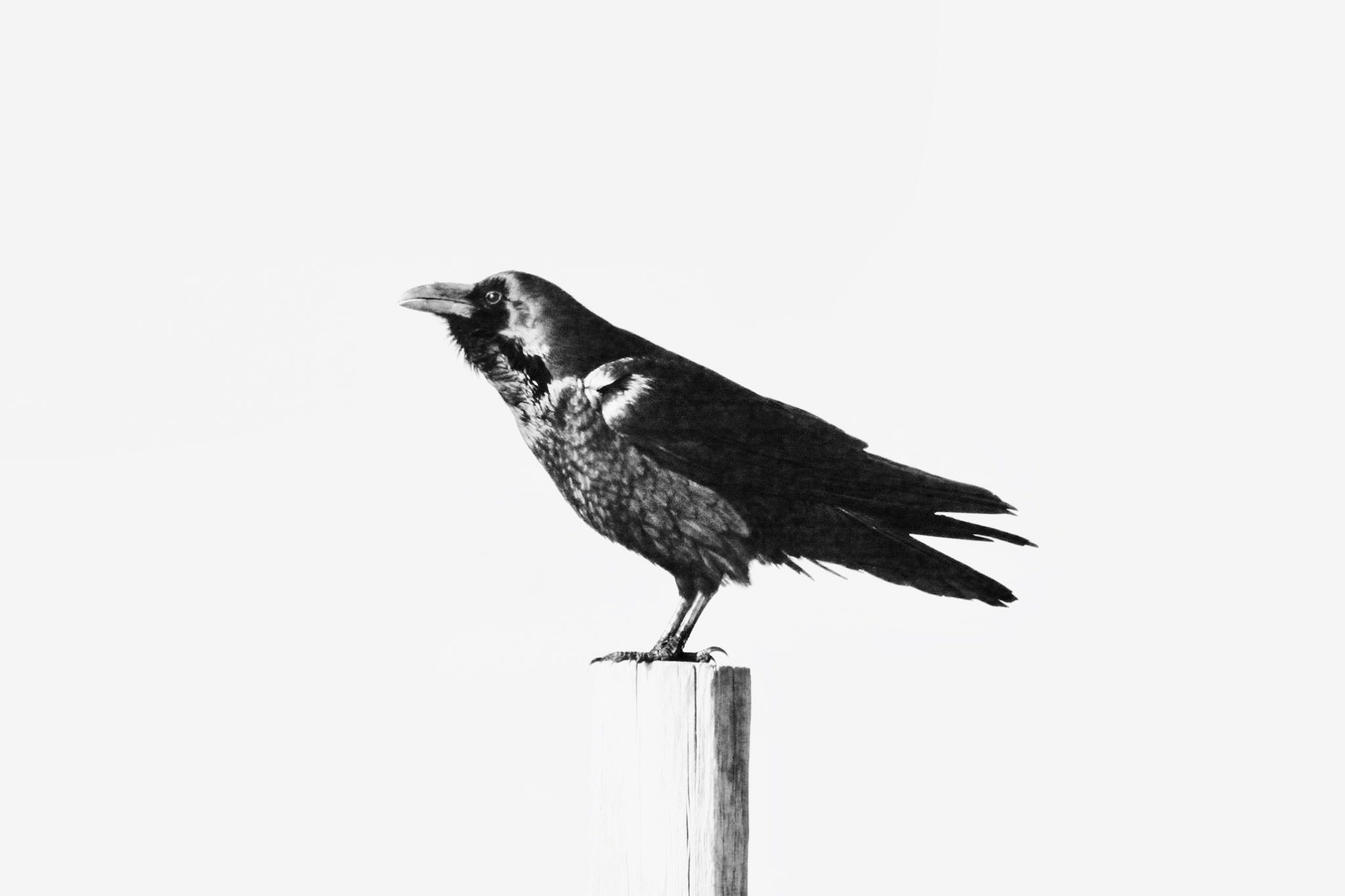 Pt. Tomales Raven