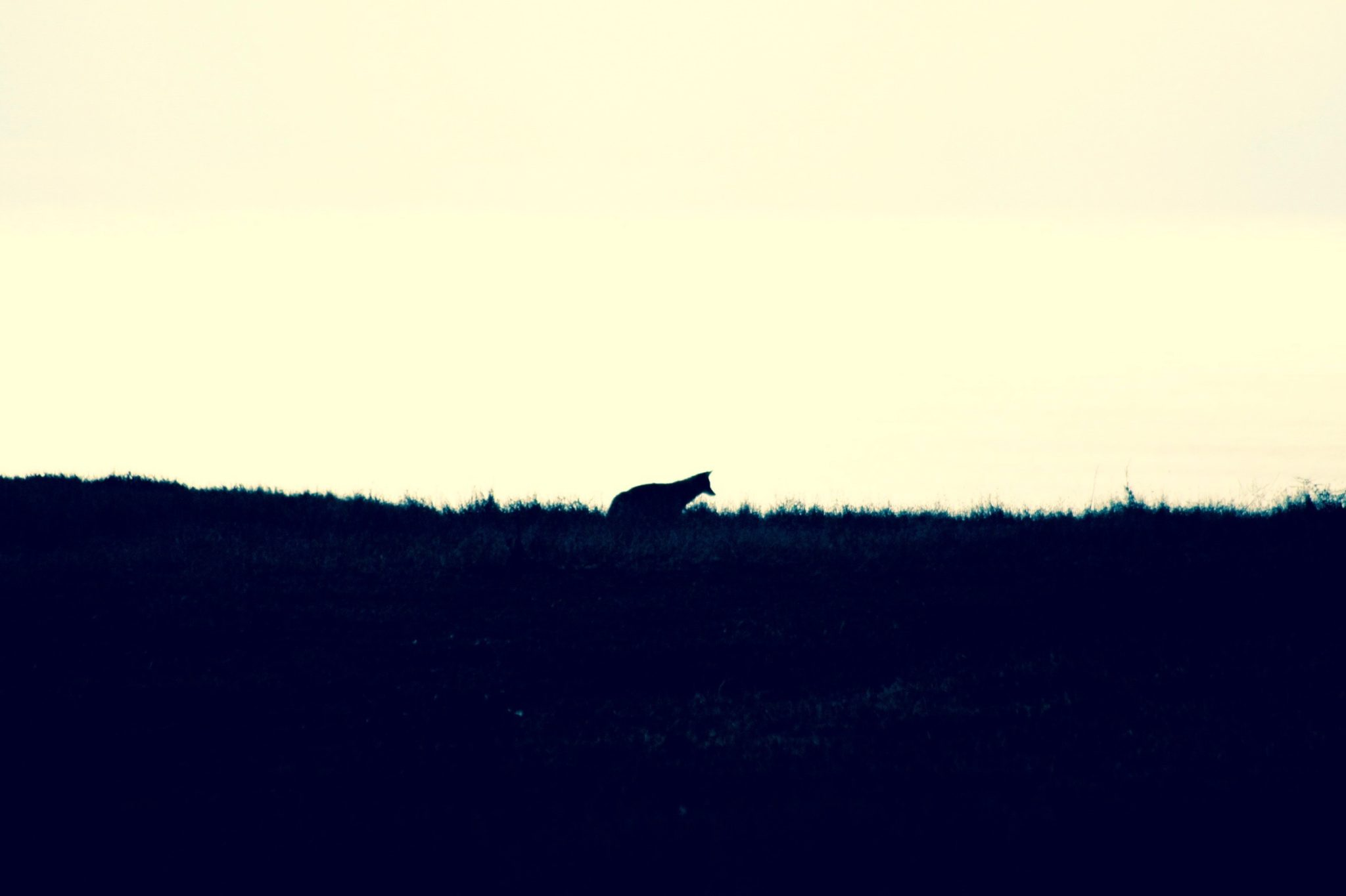 Coyote, Pt. Reyes, CA
